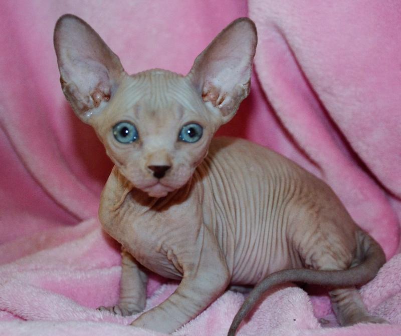 Hello from Alchemy - Alchemy Sphynx Cats Australia
